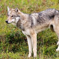 Обнаруженный в Берестовицком районе «шакал» оказался волком