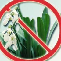 Экологи призывают гомельчан не рвать и не покупать первоцветы. Иначе — штраф в 9 млн рублей!