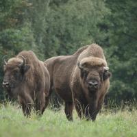 В Беларуси зубра возвращают в природу