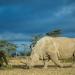 Носороги «из пробирки» могут вернуть исчезнувший вид