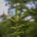 Россияне помогут высадить 100 тыс. елок на Новый год