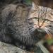 Учёные засомневались: так вернулся ли лесной кот в Беларуси или просто мимо проходил?