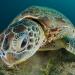 В Таиланде погибла зелёная черепаха из-за пластика