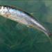 Что это за рыба? 10 обитателей водоёмов Беларуси